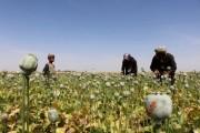 تولید بیسابقه تریاک در افغانستان در اثر پیشروی طالبان